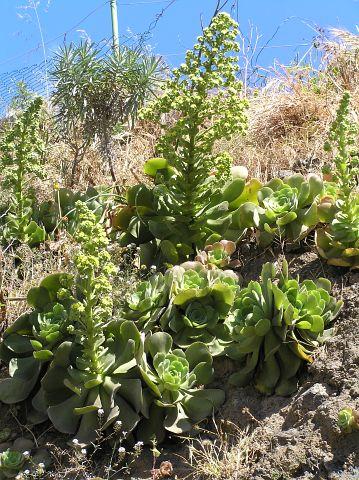 Aeonium canariense (Aeonium palmense)