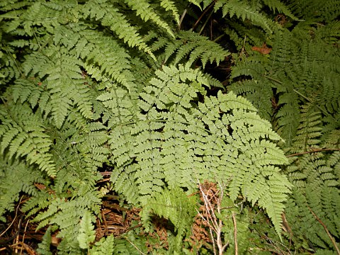 Dryopteris guanchica