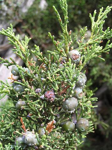 Catálogo de flora autóctona Juniperus_turbinata2
