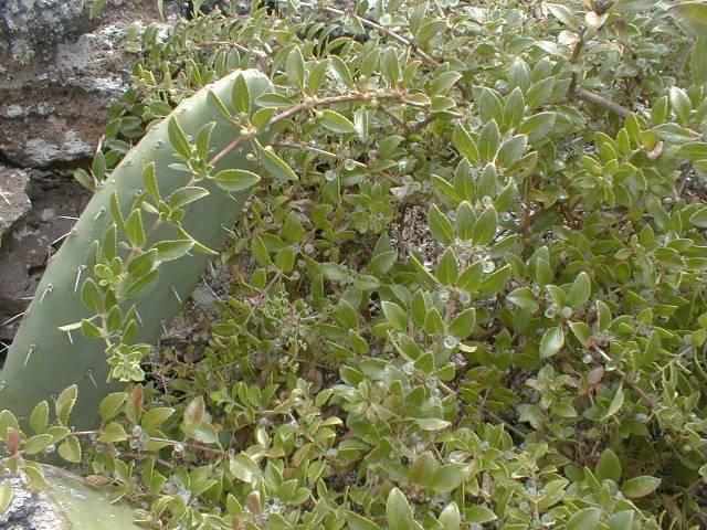 Rubia fruticosa