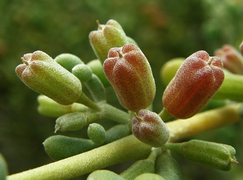 Frutos de Zygophyllum waterlotii